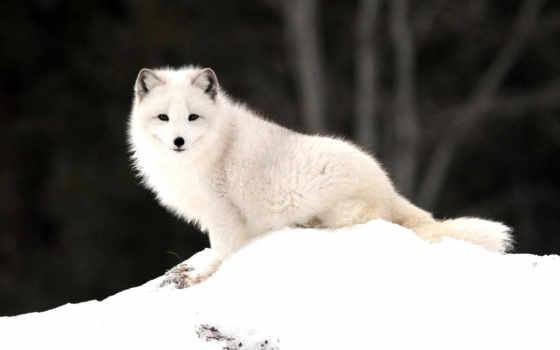 фокс, arctic, природа
