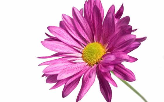 chrysanthemum, цветы, картинка