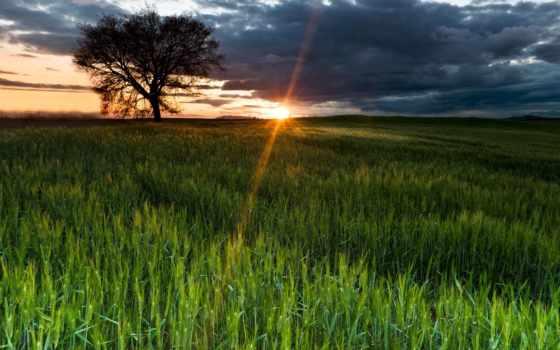 поле, солнца, rising, пшеничное, дерево,