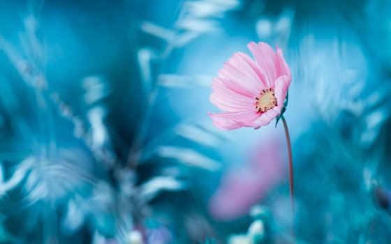 fone, космеи, цветы, art, картинка, рамочка, bravin, fabien, размытом, canvas, розовый,