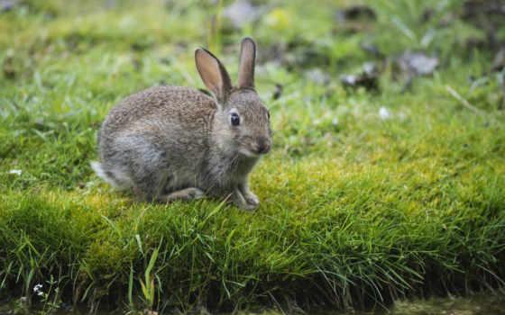 заяц, трава, серый