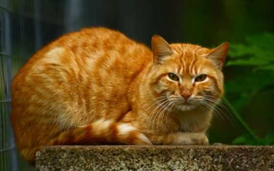 кот, red, большой