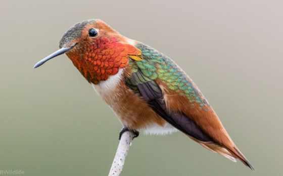 колибри, птица, sit, small, branch, коллекция, можно, птичка, land, их