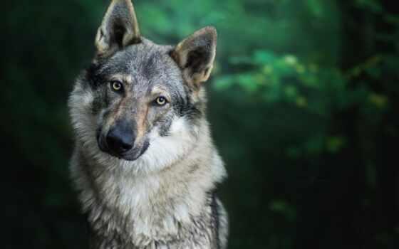 волк, только, большой, priroda, изображение, самый, krutoi, kachat, красивый, высокий, zver