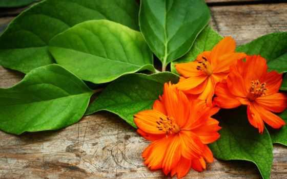 цветы, оранжевые, flw