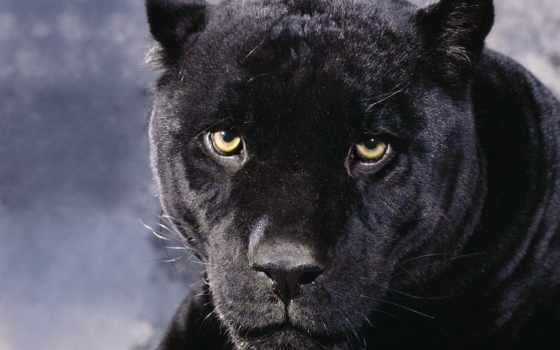 panther, морда, смотреть, несмотря, черная, хищник, кот,