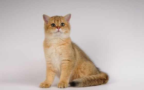кот, красивый, густой, котенок, sit, сидит, yükle, пушистый,