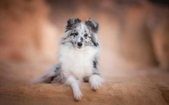 собака, sheltie, sheepdog, shetland, взгляд, друг