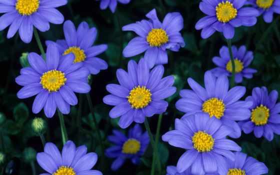 moradas, flores, цветы