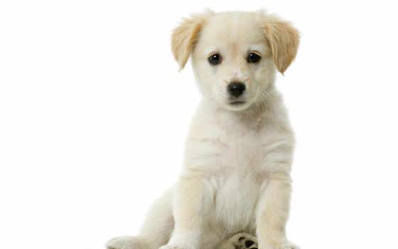щенок, белый, янв, сидит, risunok,