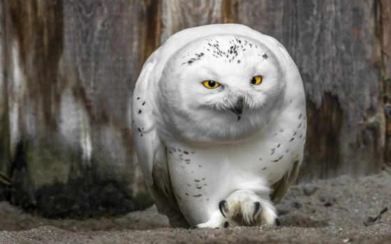 сова, белая, птица