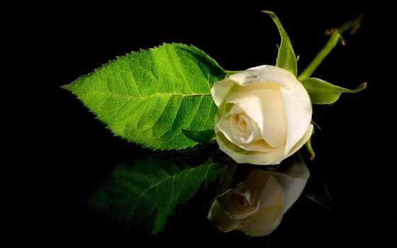 роза, белая, цветы, отражение, одинокий, гладь, drop,