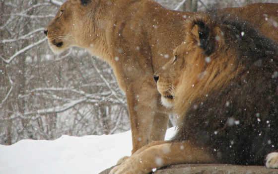 winter, zhivotnye, снег, lion, кошки, львы, телефон, king, зверей, хищники, телефона,