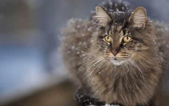 кот, снег, пушистый, кошки, breeds, мэн, кошек, cats, породы, images,