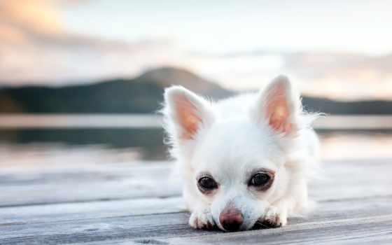 щенок, собака
