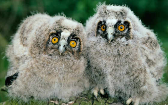 birds, images, long, desktop, eared, chicks, young, owls,