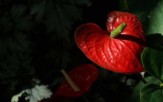 антуриум, цветы, among, листьев, фламинго, зелёных, капельках, утренней, ярко, росы,