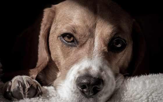 beagle, content, дрессировка