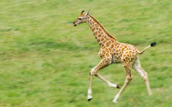 жираф, животных, зооклубе