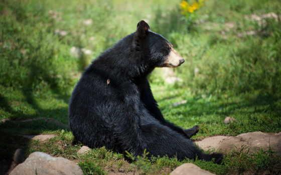 медведь, zhivotnye