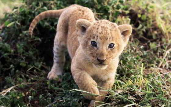 удущий львенок