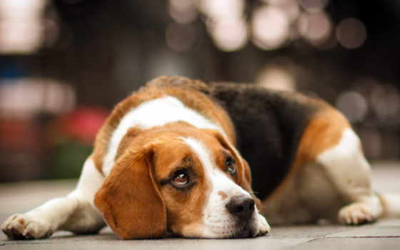 картинка, собака, that, стоит, собаки, what, beagle, зооклубе, породы, зооклуб,