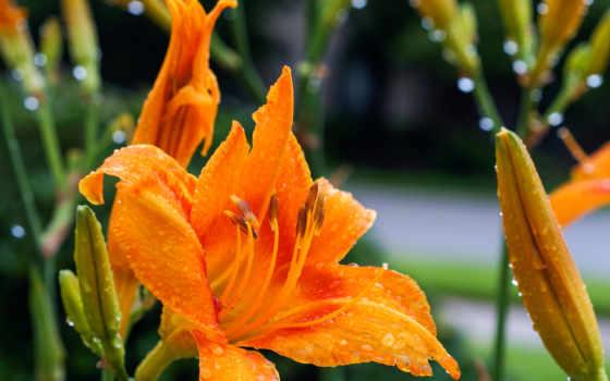 daylily, цветы, free, desktop,