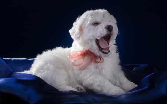 бишон, фризе, щенок, white, зевает, язык, бантик, собаки, картинка, цветов, букет,