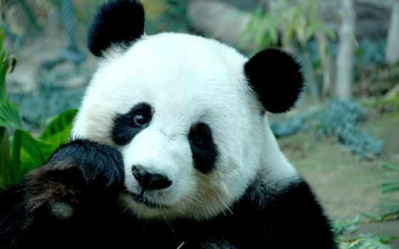 панда, большая, панды