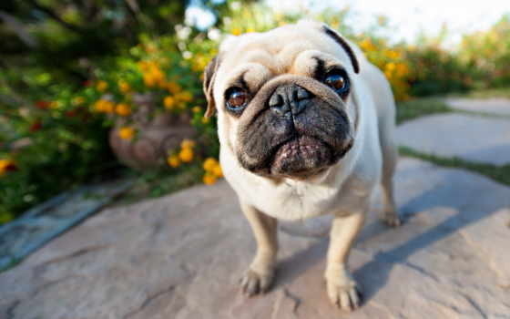 мопс, собаки, морда, щенок, взгляд, собак, собака,