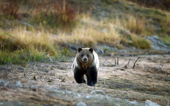 niedźwiedź, tapety, grizzly
