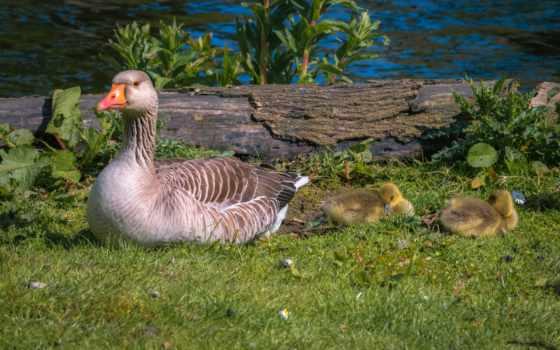 goose, трава, free, nestling, birds, animals,