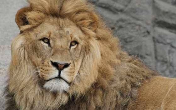 lion, плакат, кот, сафари, animal, life, последний
