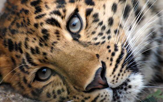 леопард, морда