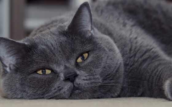 кот, котенок, морда, серый, british, глаз, card, gorgeous, blue