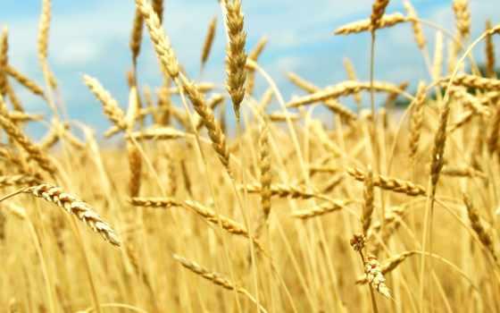 пшеницы, поле