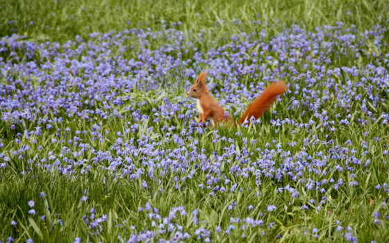 priroda, cvety, pole