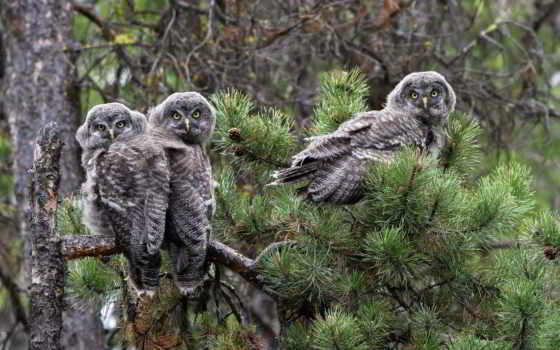 совы, неясыть, сова, бородатая, птицы, pine, branch,