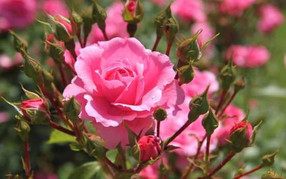 роза, розы, роз, капелька, капельками, всаду, росы, черенками, репродукция, нежно,