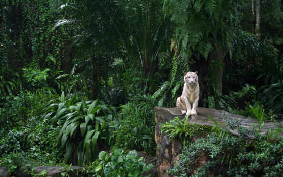 тигр, white, zhivotnye, тигры, обитания, кошки, рисунки, тигров, тегом,