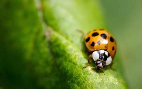 красивые, жук, коровки, компании, насекомое, природа, картинка,