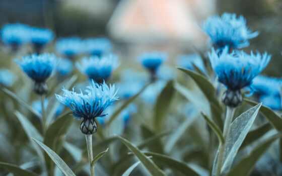 цветы, василек, blue, размытость, фон, лист, бутон, букет, стебель, bush