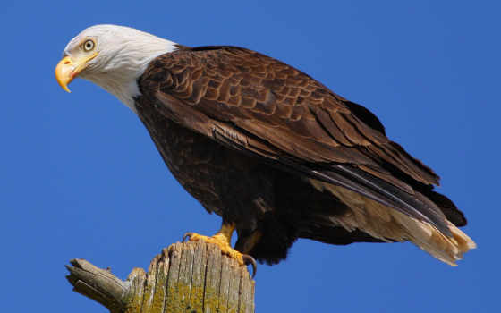 орлан, белоголовый