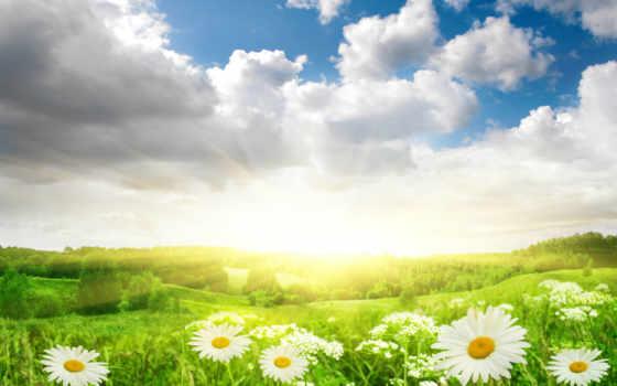 поле, ромашки, цветы