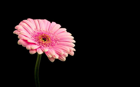 розовый, daisy, цветы, wide, resolution, resolutions,