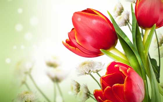 тюльпан, mariposa, картинка, цветы, chrysanthemum, плакат, вышивка, кросс, free, фон, руб