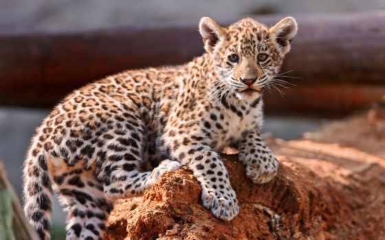 леопард, детёныш