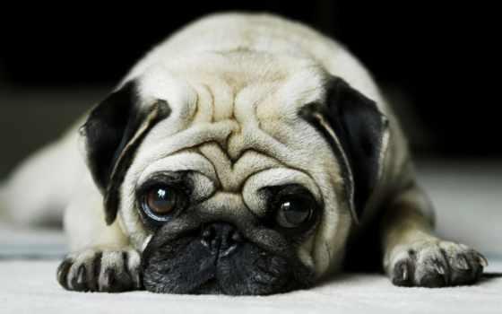 мопс, собаки, грустный