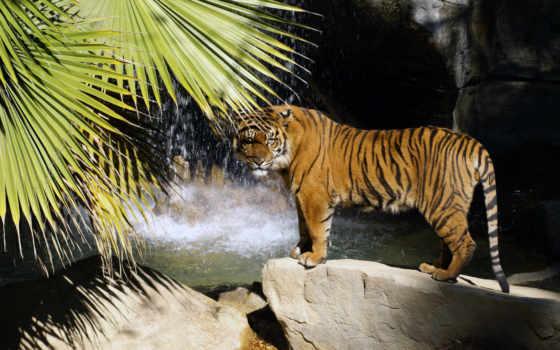 тигр, водопад, камни, stand, дерево, камень, водопада,
