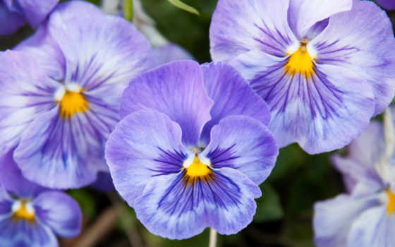 цветы, фиолетовый, cvety, глазки, анютины, виола, выращивание, виолы, рассаду,